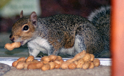 Squirrel.peanut