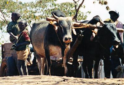 Kenya.bulls