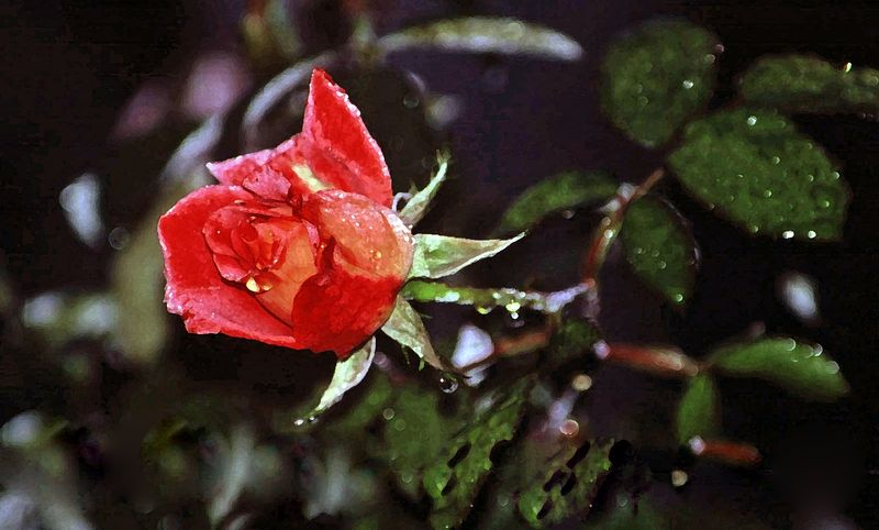 Rose.dewy