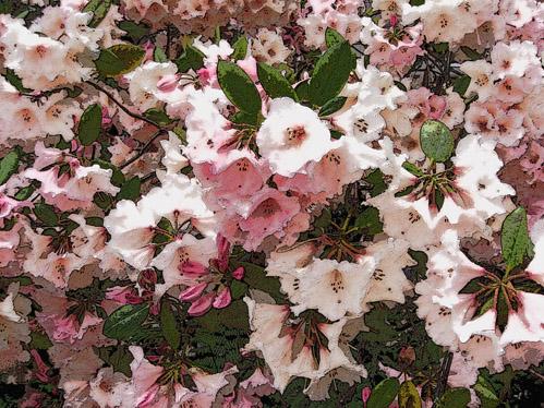 Pinkflowersfullframe