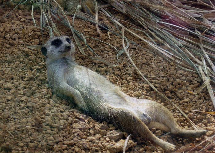MeerkatIN