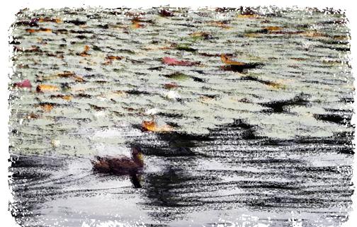 Ducklillypads
