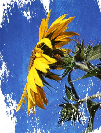 Sunflowerbluetxt