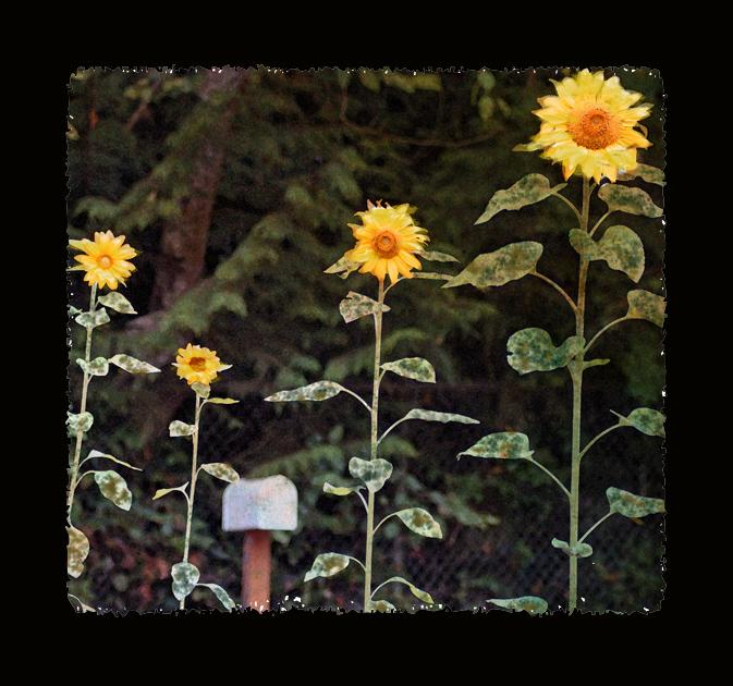 Cadensunflower4