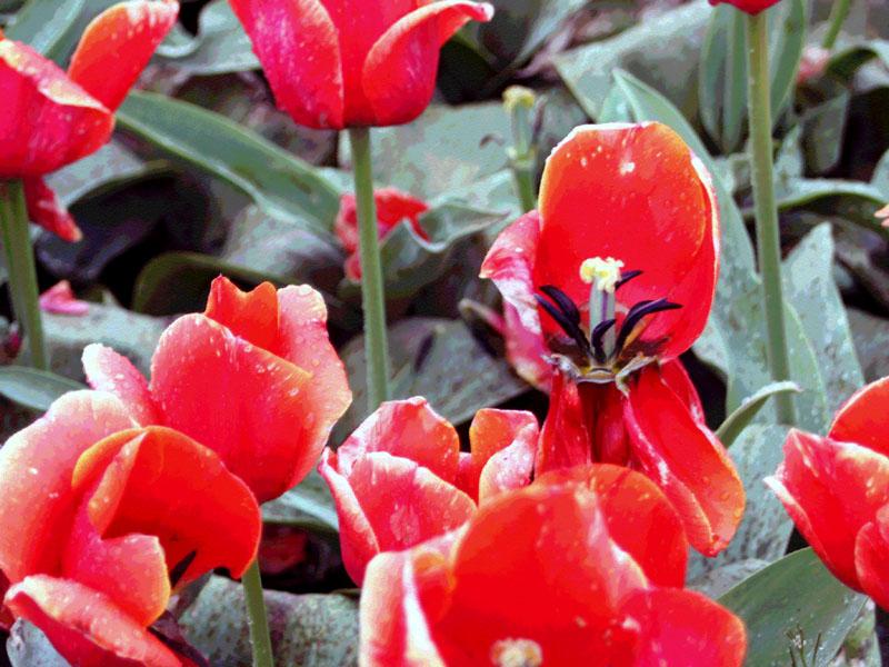 Tulipred