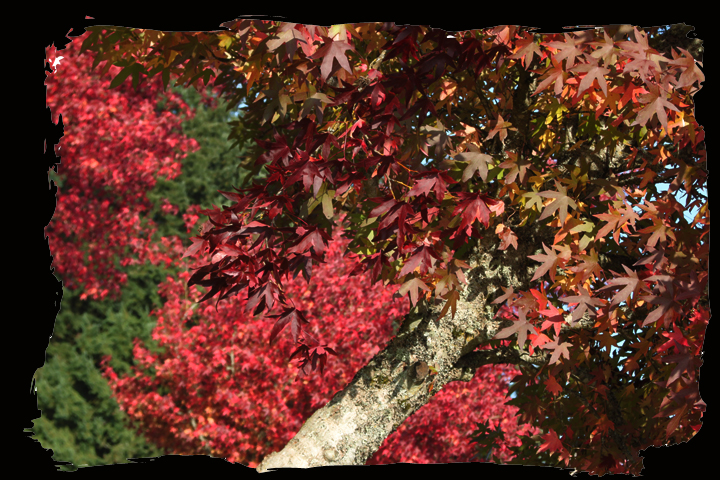 Fallredtreeleaning