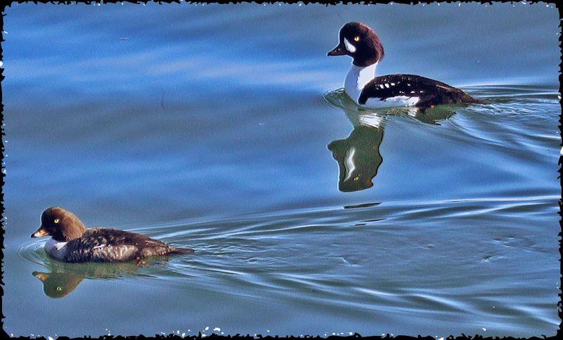 Ducksreflection