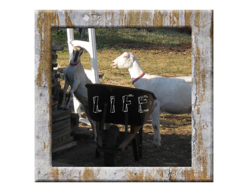 Goatslife