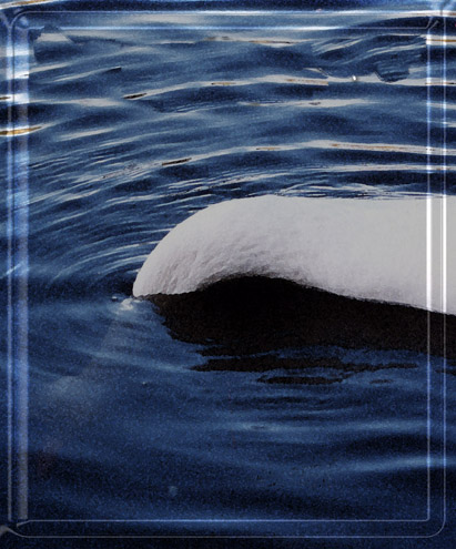 Swanunderwater-1